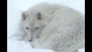 wolf cam