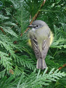 Vireo by photographer R. K. Young